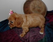 Capable Cavalier King Charles Spaniel puppies ready now