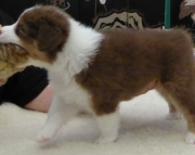 At one's disposal AUSTRALIAN  SHEPHERD puppies available