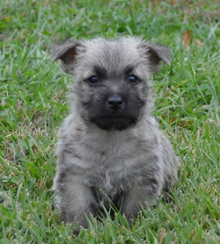 Companionable Cairn Terrier Puppies for Sale
