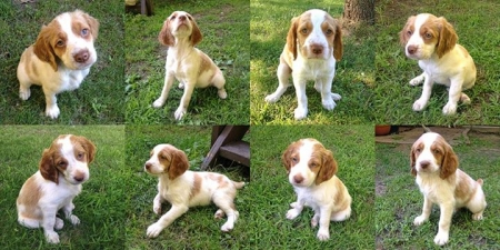 Captivating BRITTANY Puppies for Sale