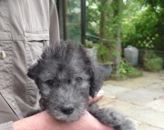 Awesome bedlington terrier puppies ready now