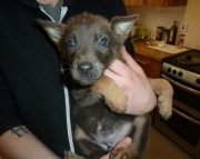 Famous German Sheprador puppies for sale