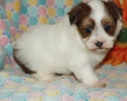 Fabulous Havanese puppies ready now