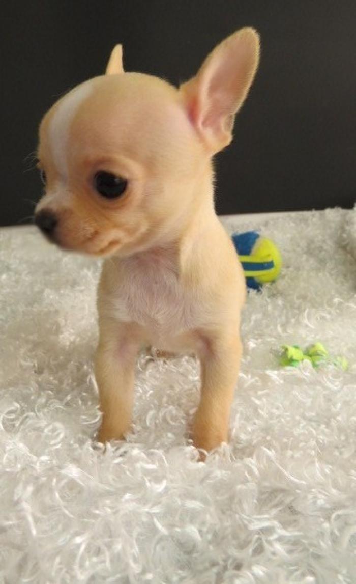 Communicative Chihuahua Puppies For Sale Handmade Michigan