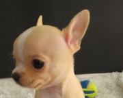 Communicative Chihuahua puppies for sale