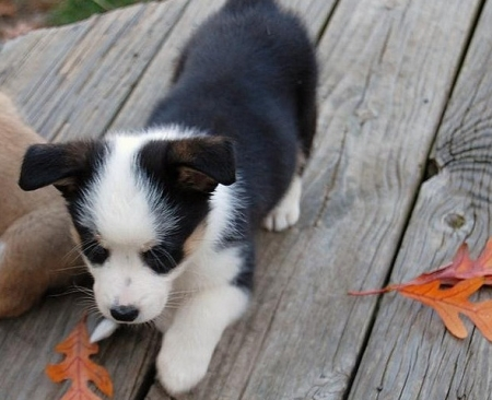 Easy to Talk to Corgi Puppies for Sale