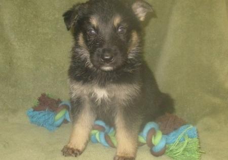 Fantastic German Shepherd Puppies for Sale