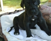 Favourite GREAT DANE puppies for sale