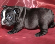 Ennobling Frenchton puppies puppies for sale