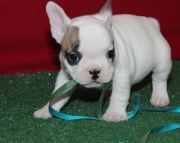Endeavouring FRENCH BULLdog puppies for caring home