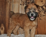 Curious Coated Wheaten Terrier Puppies for sale