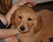 Formidable GOLDEN RETREIVER puppies for good home