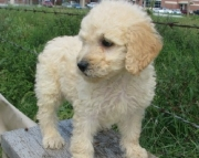 Friendly Goldendoodle puppies for sale