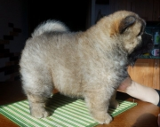 Delighted CHOW CHOW PUPPIES FOR GOOD HOME