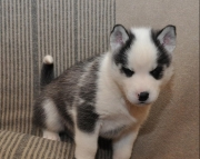 Flexible Siberian Husky Puppies for Sale