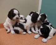 Creative ENGLISH SPRINGER SPANIELS puppies for sale