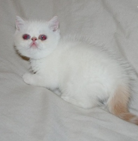 Empowered EXOTIC SHORTHAIR Kittens for Good Home