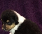 Dearest COLLIE puppies for good home