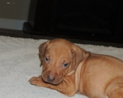 Classical RHODESIAN RIDGEBACK PUPPIES FOR SALE
