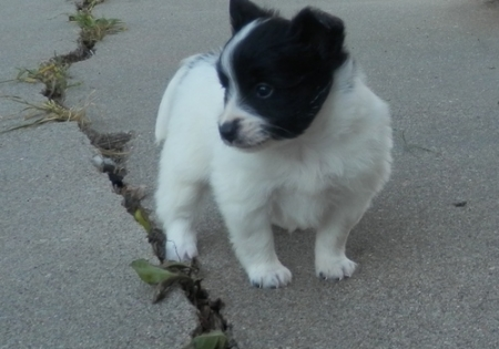 Fearless Papilon Puppies for Sale