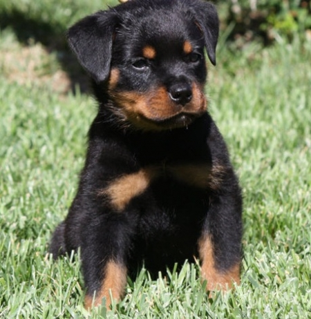 Carefree ROTTI PUPPIES FOR SALE