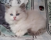 Changeable RAGDOLL KITTEN for sale