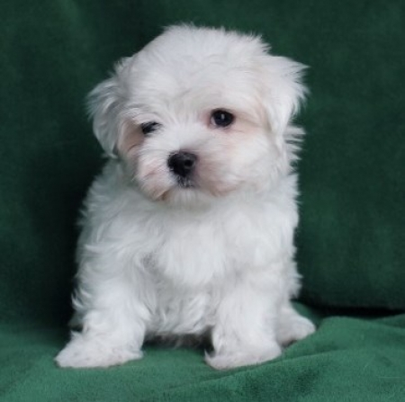High Quality Maltese Puppies for Sale