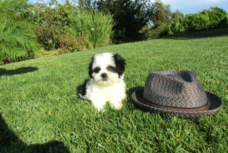 High-priority Malshi Puppies Puppies for Sale