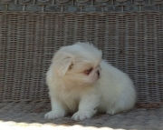 Golden Pekingese puppies for sale