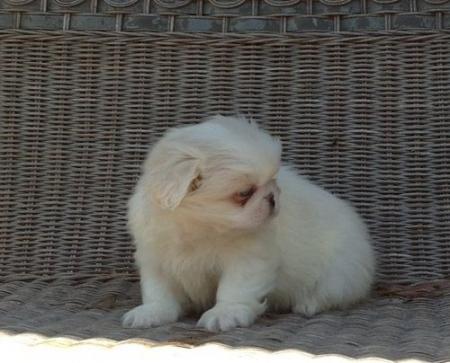 Golden Pekingese Puppies for Sale