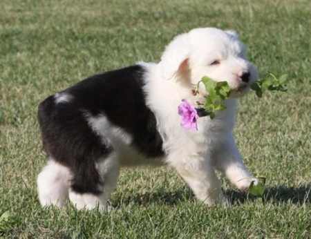 Gentle Olde English Sheepdog Puppies for Sale