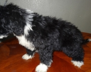 Excellent Portuguese Water Dog puppies for good home
