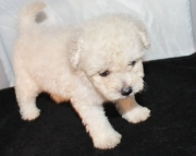 High-reaching Malti Poo puppies for your kids
