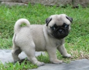 Champion pug puppies for sale