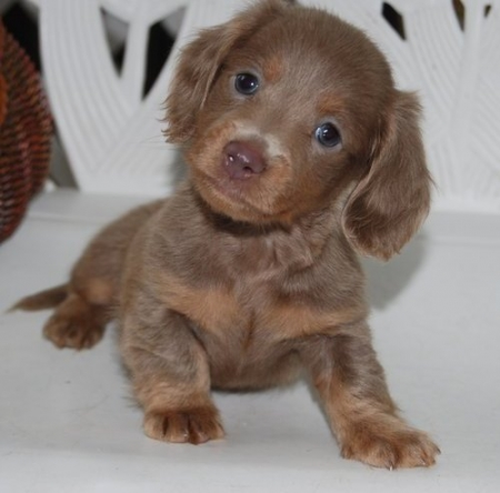 Good-looking  Miniature Dachshund Puppies for Sale