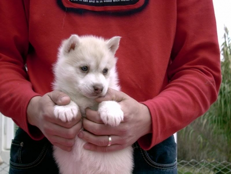 Erty Siberian Husky Puppies for Sale