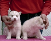 dfdgh siberian husky puppies for sale