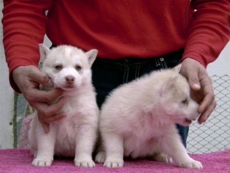 Dfdgh Siberian Husky Puppies for Sale