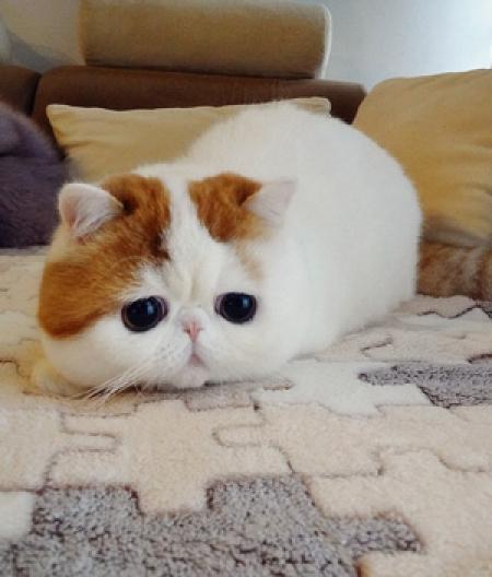 Ccv Exotic Shorthair Kittens for Sale