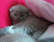 scotish fold kittens for sale