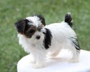 fine Yorkshire Terrier puppies for sale