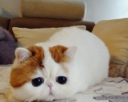 xcv cool exotic shorthair kittens for sale