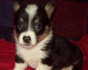 ssd Pembroke Welsh Corgi Puppies For Sale