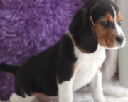 dfg Beagle Puppies For Sale
