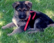 dfa German Shepherd Dog Puppies For Sale