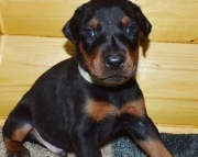dfsa Doberman Pinscher Puppies For Sale