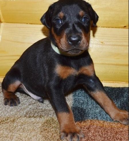 Dfsa Doberman Pinscher Puppies For Sale