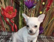 ter Chihuahua Puppies For Sale