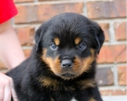 xas Rottweiler Puppies For Sale