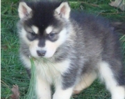 sda Siberian Husky Puppies For Sale